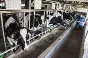 Produksi Susu Segar Turun Selama Kemarau
