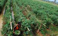 Kemarau, Petani Lebak Beralih Kembangkan Tanaman Sayuran
