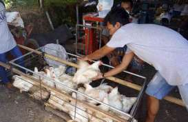 Harga Ayam di Tingkat Peternak Anjlok Lagi
