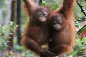 Seekor Pongo pygmaeus Dipindahlokasikan ke Suaka Margasatwa…