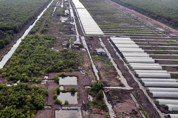Perkebunan akasia di Sungai Baung, Air Sugihan, Ogan Komering Ilir (OKI), Sumatra Selatan, Rabu (10/3). Pascakebakaran pada 2015, PT Oki Pulp & Paper Mills menjamin ketersediaan bahan baku pulp untuk memenuhi target produksi dua juta ton pulp dan 500.000 ton kertas tissue per tahun. - Antara/Nova Wahyudi
