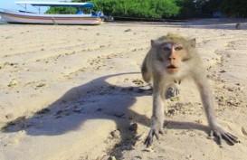 Dikurangi, Monyet Ekor Panjang di Gunung Kidul Ternyata Diekspor