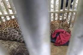 Macan Tutul Lawu Mati di Taman Jurug karena Sakit