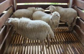 Domba Muda Tampil Gemuk dengan Pakan dari Silase Jagung