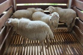 Domba Muda Tampil Gemuk dengan Pakan dari Silase Jagung…