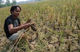 114 Hektare Sawah di Bangka Selatan Terancam Gagal Panen
