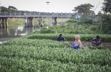 Residu Pestisida di Sayuran, Ini Temuan di Ambon