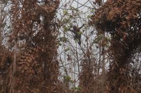 Habitat Orangutan Terancam Kebakaran Hutan