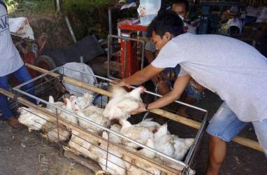 Harga Ayam Anjlok, Perbaikan Tata Niaga Jadi Solusi Jangka Menengah