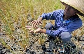 Kekeringan Sebabkan Puso 454 Ha Lahan Pertanian di Lebak