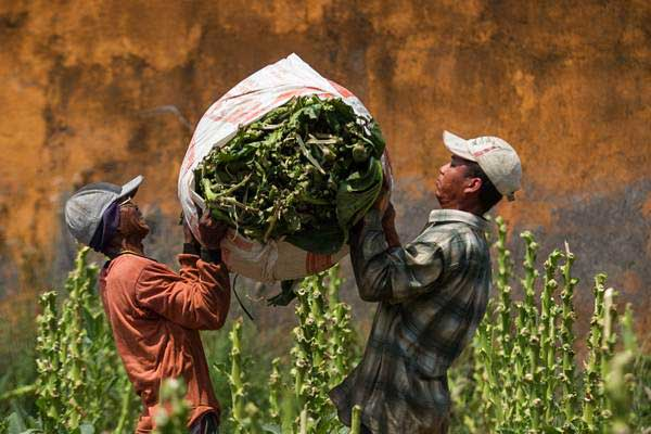 Buruh tani mengangkat daun tembakau hasil panen di Bolon, Colomadu, Karanganyar, Jawa Tengah, Senin (4/9). - ANTARA/Mohammad Ayudha