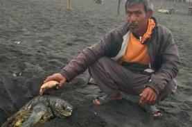 Penyu Sepanjang 1 Meter Terdampar dan Mati di Pantai…