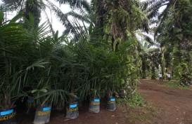 Daftar Tunggu Rekomendasi Peremajaan Sawit Mencapai 40.000 Hektare