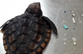 Prihatin, Usus Kura-kura Ini Penuh dengan Sampah Plastik