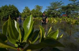 Kemenhub Tanam 4.500 Bibit Manggrove di Kalimantan Selatan