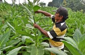 Sejumlah Risiko Perlu Dihadapi Petani Tembakau