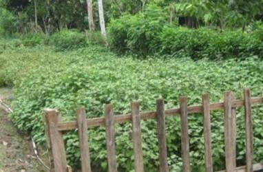 Aceh Pacu Budi Daya & Industri Pengolahan Nilam