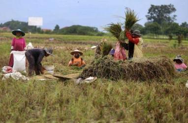 Kelompok Tani di Lebak Panen Raya Padi 120 Hektare