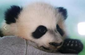 Bei Bei, Panda Kebun Binatang Washington Pulang ke China Bulan Depan