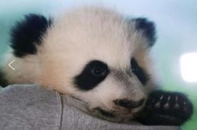 Bei Bei, Panda Kebun Binatang Washington Pulang ke…