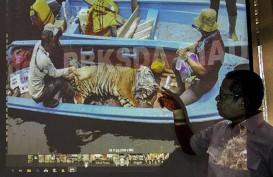 Harimau Terkam Seorang Pekerja di Riau