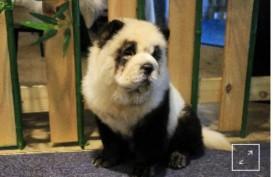 Kafe Ini Berikan Layanan Rias Anak Anjing jadi Mirip Panda
