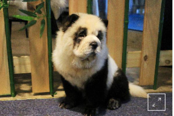 Anjing yang diwarnai dan dibuat mirip Panda : Dikecam Organisasi penyayang binatang