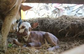 Anak Sapi ini Terlahir dengan Dua Mulut dan Empat Mata