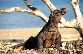 KLHK: Wisatawan Bisa Lihat Komodo Berburu Mulai Tahun Depan