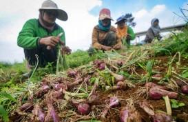 Produksi Bawang Merah Jatim Diperkirakan Surplus