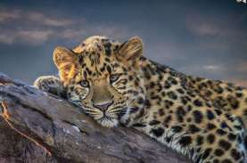 Seekor Macan Tutul Serang Petani Hingga Tewas