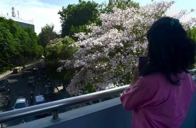 Tahun Depan, Surabaya Tambah 500 Pohon Tabebuya