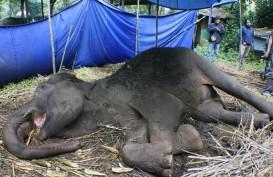 Satu Gajah Mati Ditemukan di Daerah Konsesi Riau