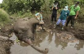 Petugas KLHK Selidiki Penyebab Gajah Mati di Kawasan Konsesi Bengkalis