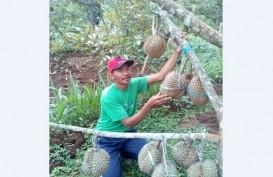 Biar Tak Kehabisan, Durian Wonogiri Ini Dipesan Sebelum Panen