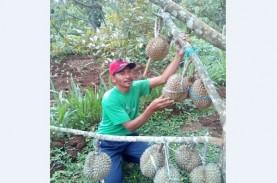 Biar Tak Kehabisan, Durian Wonogiri Ini Dipesan Sebelum…