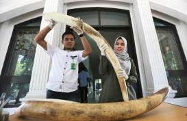 Pelaku Pembunuhan Gajah di Aceh dan Riau Diduga Satu Komplotan
