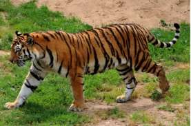 Harimau Sumatra Mangsa Ternak Warga, BKSDA Datangkan…