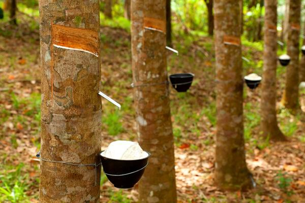Getah pohon karet - Istimewa