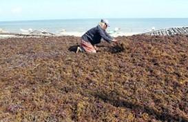 Petani Klungkung Kembali Bergairah Garap Rumput Laut