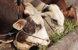 Sektor Peternakan : Tersandung Kematian Sapi Indukan Impor