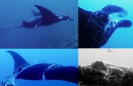 Wisatawan Temukan Ikan Manta Terlilit Tali di Perairan Raja Ampat