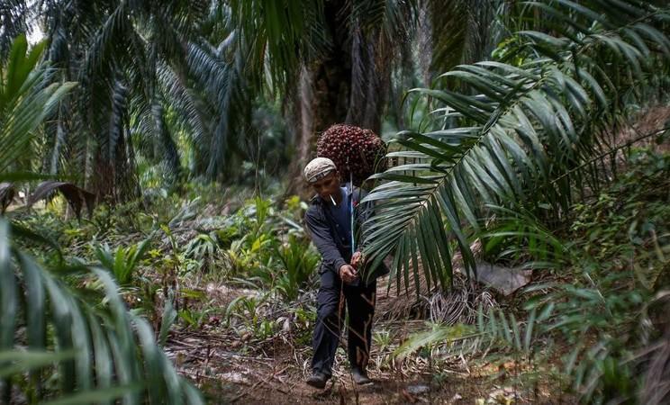 Pekerja Indonesia Abdul Rahim Gani membawa buah kelapa sawit di Felda Bukit Cerakah di kabupaten Klang di luar Kuala Lumpur, 16 April 2014. -  REUTERS / Samsul Said