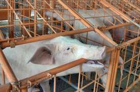 FAO : Indonesia Konfirmasi Wabah Demam Babi Afrika…