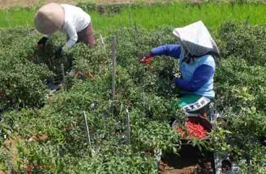 Petani Kulonprogo bisa Tersenyum, Harga Cabai Merah Keriting Naik