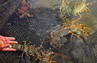 Di Pulau Ini, Lobster Berhasil Dibudidayakan