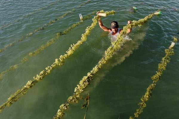 Ilustrasi: Petani rumput laut memeriksa tanaman rumput laut di Pantai Ujungnge, Bone, Sulawesi Selatan, Selasa (31/10). - ANTARA/Yusran Uccang