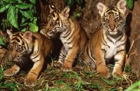 Sumsel Pasang Delapan Kamera Pemantau Harimau