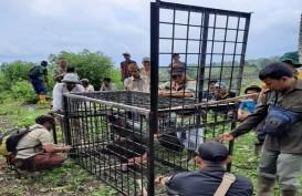 Antisipasi Serangan Harimau, Sumsel Siagakan Camera Trap