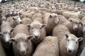 Belasan Ekor Domba di NTB Tersambar Petir